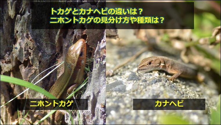 ニホントカゲの画像 p1_25