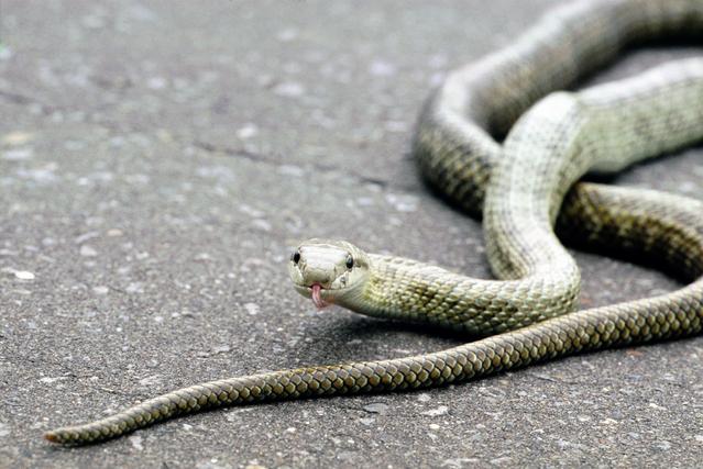 種類 日本 蛇
