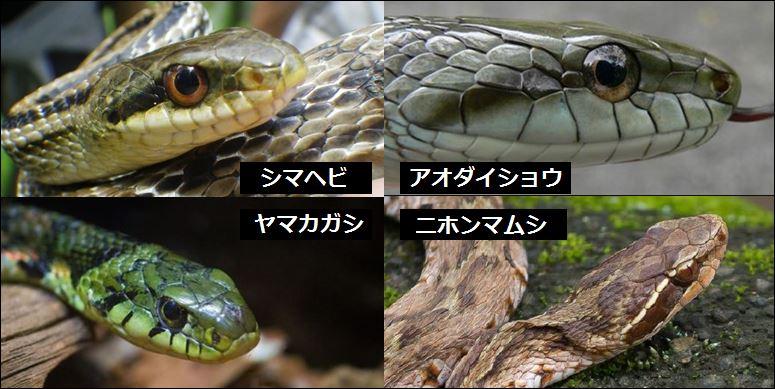 まず、頭の形についてですが同じナミヘビ科のシマヘビとアオダイショウは顔が扁平なのですが、ヤマカガシはこの2種類に比べてやや顔に厚みがあります。