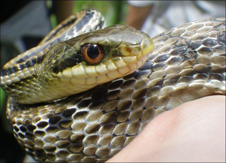 きりりとした顔のヘビ