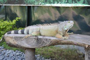 stockvault-iguana143740