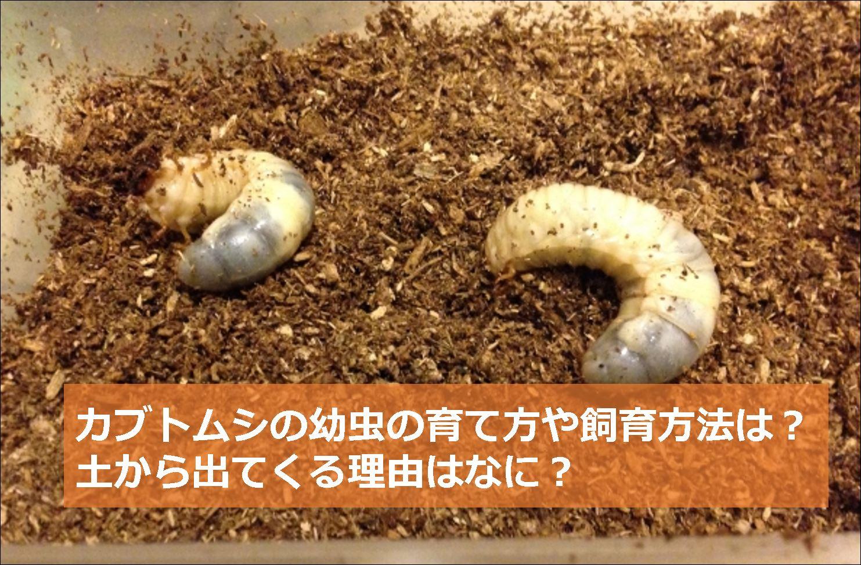 カブトムシ 育て 方 幼虫 やってしまった!!カブトムシの幼虫の育て方で致命的な失敗!どうな...