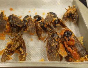 セミを食べるとピーナッツの味?日本では沖縄で食用にされて ...