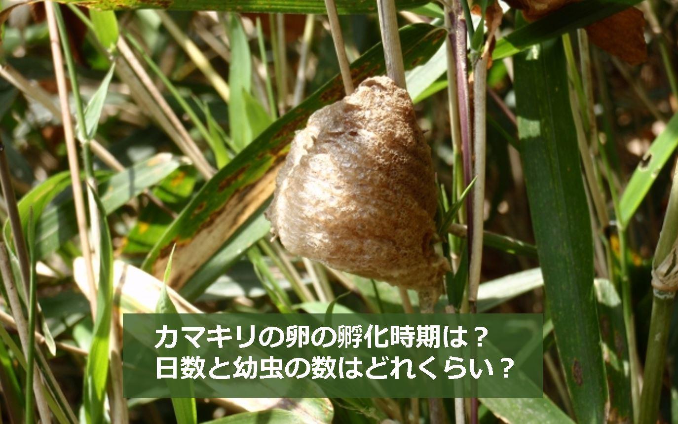カマキリの画像 p1_26