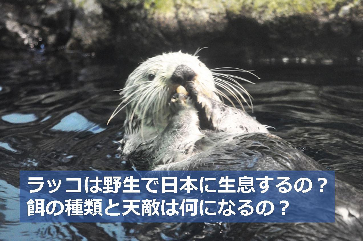 ラッコは野生で日本に生息するの餌の種類と天敵は何になるの 生物