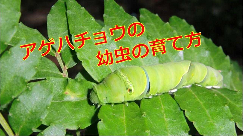 幼虫 アゲハチョウ