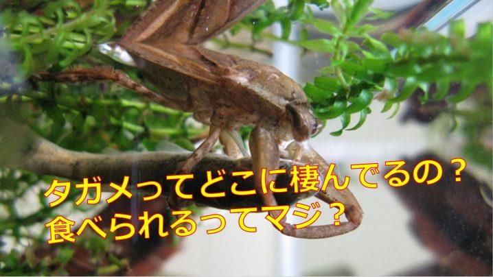 タガメの画像 p1_26