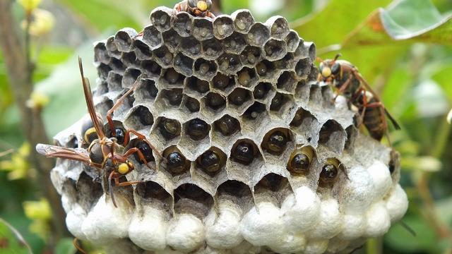 アシナガバチの画像 p1_26