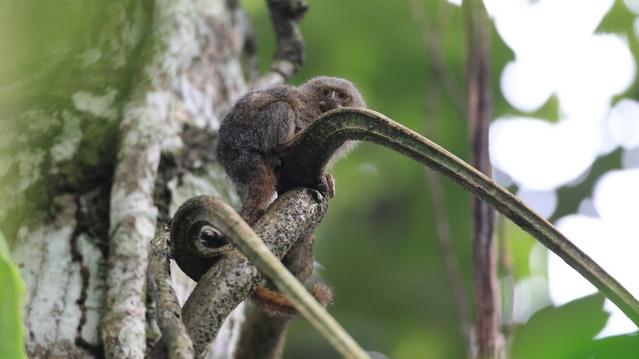ピグミーマーモセットの生態と性格は?野生で見られる生息地はどこ?
